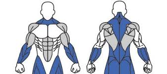 dividing up your muscle groups