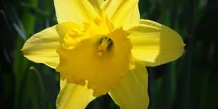 daffodils at lake view cemetery didn t have full bloom this year blame the cold