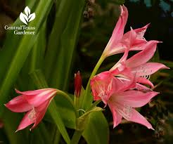 unlike me ellen bousanquet is at her best when the heat is on with recent rain spurts heritage crinum lilies are flaunting bodacious blooms