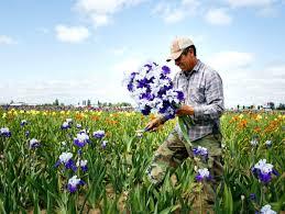 iris garden iris in bloom for iris festival iris garden inn sedona