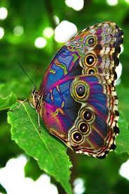 real beautiful colorful butterflies. Modren Real A Morpho Butterfly Tanbrown In Real Life Photoshopped With Rather  Spectacular Results Intended Real Beautiful Colorful Butterflies R