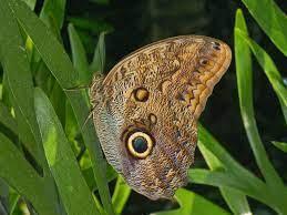 Caligo illioneus - Wikipedia