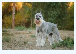 Top 10 Tips With standard schnauzer | Dog Breed