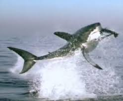 great white shark jumping for seal. Simple Seal The Physics Of Great White Sharks Leaping Out The Water To Catch Seals   Atlantic Inside Shark Jumping For Seal E