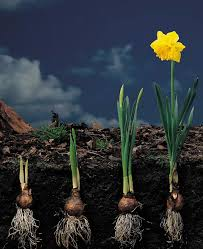 exle of interplanting of tulip and ocket science try new plants and designs