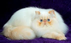 white persian cat wallpapers