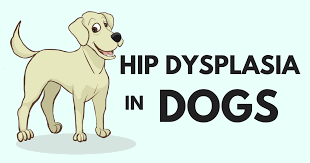 Hip Dysplasia In Dogs Everything You Want To Know Simple Wag