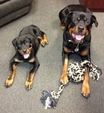 rottweiler dog mean. a black with tan rottweiler is laying on carpet rope toy in between dog mean o