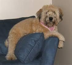 soft coated wheaten terrier new jersey