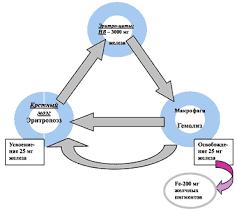 Железодефицитная анемия беременных Статьи по специальности  Круговорот железа в организме