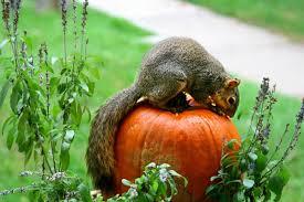 a squirrel eating a pumpkin in a vegetable garden