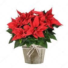 Weihnachtsstern Pflanze In Vase Stockfoto Scis65 128937404