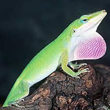 petsmart reptiles for sale. Interesting Petsmart Green Anole To Petsmart Reptiles For Sale I