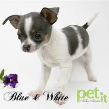 Chihuahua Color Chart Amazing Chihuahua Coat Colours Pet It Dog Apparel