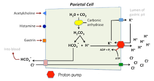 The Parietal Cell Mechanism Of Acid Secretion