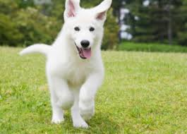 white german shepherd husky mix puppy. Brilliant Husky White German Shepherd Puppies Inside White German Shepherd Husky Mix Puppy E