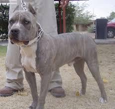 Light Grey Pitbull Pin On Dog Stuff