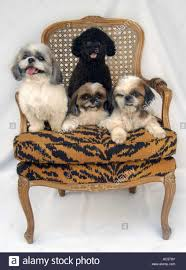 dog lounge chair inspirations also four cuddly dogs on sofa stock photo royalty pictures amazing ideas outdoor chairdog