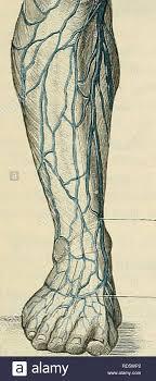 Cunninghams Text Book Of Anatomy Anatomy Great Saphenous