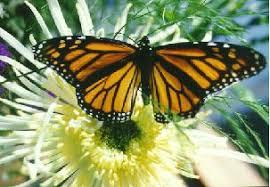 big pictures of butterflies. Simple Butterflies Monarch Butterfly Intended Big Pictures Of Butterflies N