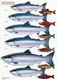 Atlantic Salmon Size Chart Know Your Pacific Salmon Chart Adults And Breeding Males
