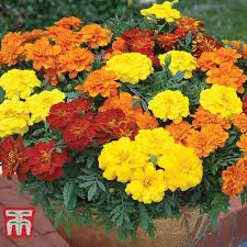 marigold french durango improved tagetes patulafrench marigold