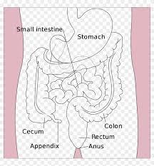 Flow Chart Of Mammalian Digestive System Flowchart Anatomy