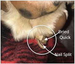 dog toenail that splits in the middle