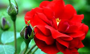 hd flowers wallpapers free desktop incredible rose te of