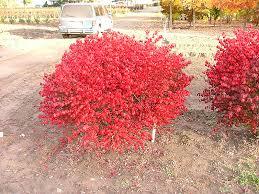 Burning Bush Size Chart Velvet Blazer Burning Bush Euonymus Alatus Veblzam In
