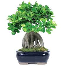outdoor ficus tree ficus tree care encourage how to take of a gardening and outdoors 2