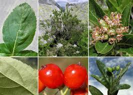 Sorbus chamaemespilus (L.) Crantz - Sistema informativo sulla flora ...