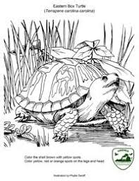 Small Picture People collecting box turtles for pets made them almost extinct in