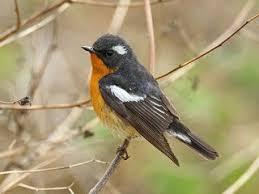 Anis kembang ngeplong gacor di pagi hari, apapun burung anda pasti ikutan nyaut. Berbagai Macam Jenis Burung Tledekan Lengkap Dengan Gambar