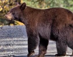 Grizzly Bear Classification Chart Black Bear Ursus Americanus Animals A Z Animals