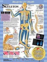 Blueprint For Health Your Skeleton Chart Paper Unmounted
