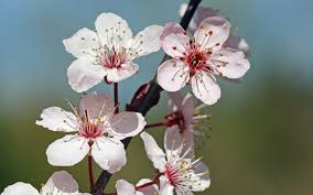 Image result for cherry blossom