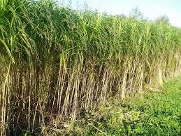 Tall Decorative Grass Similiar Tall Ornamental Grass Keywords