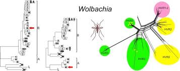 Mosquito Classification Chart Wolbachia Symbionts In Mosquitoes Intra And