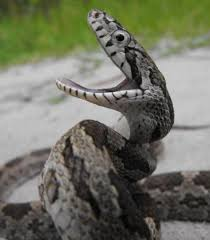 snake mouth profile. Brilliant Profile Baby Grey Rat Snake With Mouth Open Photo By Greg K Intended Profile Pinterest