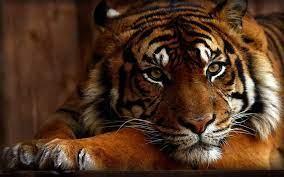 Tiger Wallpapers - Top Free Tiger ...