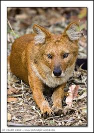 Small Picture Animals From India wolf dhole indian wild dog bandhavgarh india
