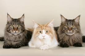 maine cats