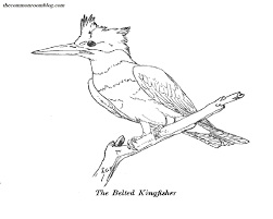 Small Picture Belted Kingfisher Colouring Page The Common Room