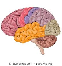 Brain Parts Images Stock Photos Vectors Shutterstock
