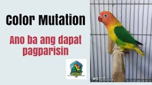 Lovebird Color Mutations Chart Opaline Lovebirds Breeding Chart Sexlink Tagalog