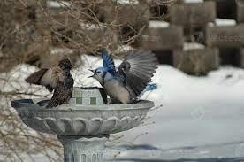 Angry birds : Blue jay & common Starling (sturnus vulgaris) 847060 Stock  Photo at Vecteezy