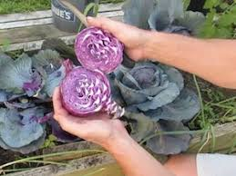 cabbage plant stages. Delighful Cabbage Harvesting Red Cabbage Plants Inside Cabbage Plant Stages L