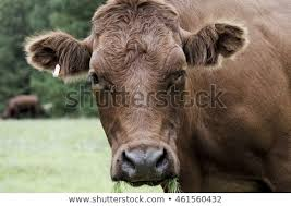 brown cow face. Contemporary Face Brown Cow Face Looking Farm Field Grass Eating In 6