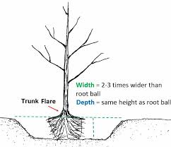 Tree Root Depth Chart Planting Care Trees Seattle Gov
